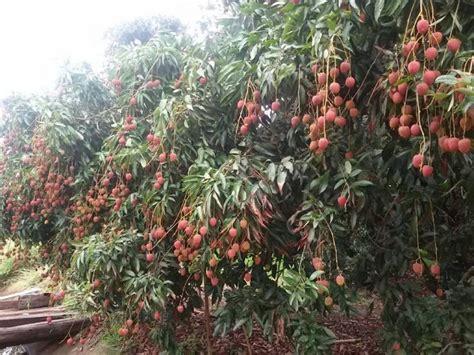 Bibit Mangga Alpukat Surabaya buah leci yang bisa tumbuh di surabaya jakarta yogyakarta