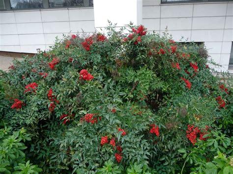 arbuste 224 fruits d 233 coratifs c 244 t 233 jardin