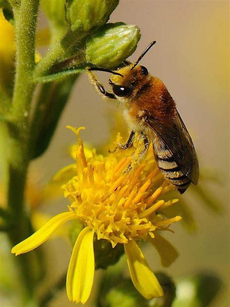 abeille sauvage du genre colletes galerie les