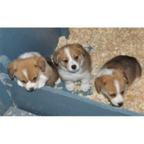 corgi puppies florida corgi gainesville fl breeds picture