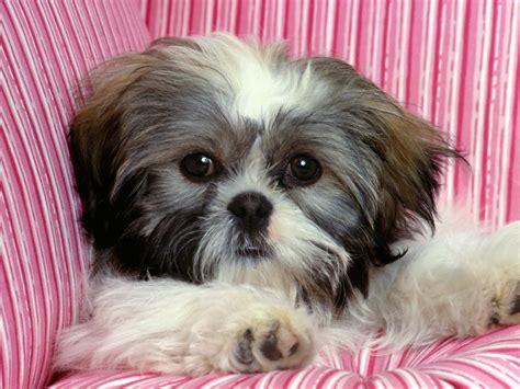 shih tzu magazine top 10 breeds for families