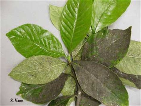 Gardenia Diseases Woody Ornamental Diseases