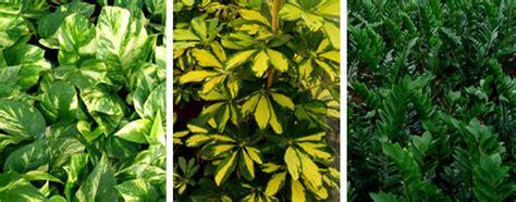 variedades belen plantas de interior cuidado de plantas