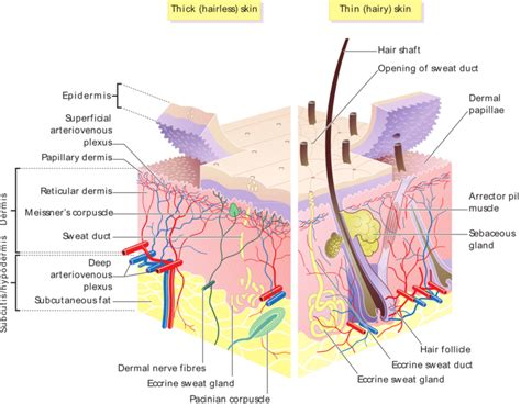 layer of fat on back of head human skin anatomy structure of epidermis and dermis