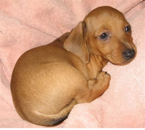 how much are dachshund puppies standard dachshund puppy in color looking so jpg hi res 720p hd