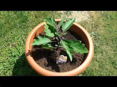 coltivare melanzane in vaso lezione 28 melanzana in vaso