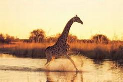Beautiful Wild Animals Giraffes