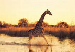 Most Beautiful Giraffe Pictures