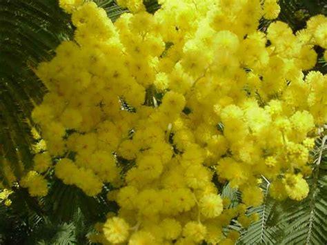 foto mimosa fiore rory e lul 249 le chiacchiere su di tutto un po la mimosa