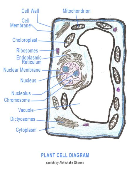 diagram of typical plant cell parts of a cell