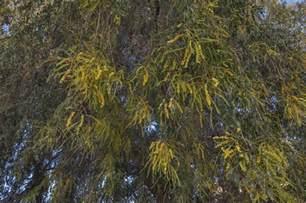 photo 1579 02 blooming ghaf tree prosopis cineraria on
