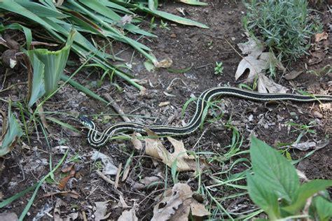 Garden Snake Identification All The Dirt On Gardening Snakes In The Garden