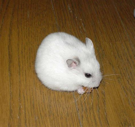 Hamster Syrian Hitam hamster facts breeds britannica