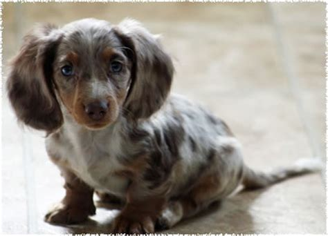 haired dapple dachshund puppies haired dapple dachshund puppies dapple dachshunds