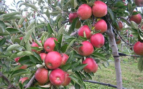 fruit tree supplies apple royal gala braeburn