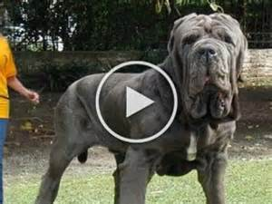 Largest Dogs In The World Pics » Home Design 2017