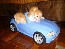 Gambar Anak Kucing Parsi