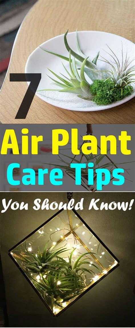 air plant care tips    balcony garden web