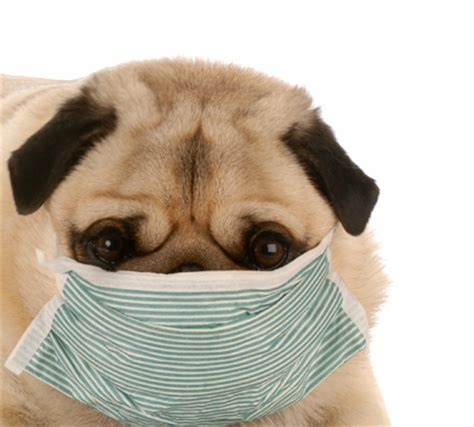 sick pug guidance issued to help states handle ebola exposure in pets canine chronicle