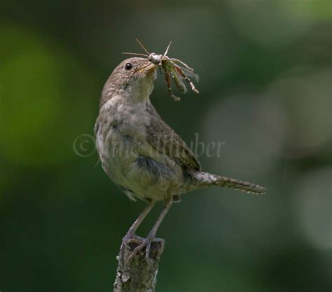 house wrens gathering food for the young august 12 2014