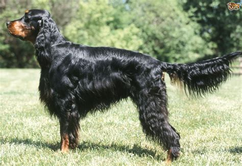 setter dogs pictures gordon setter dog breed information buying advice photos