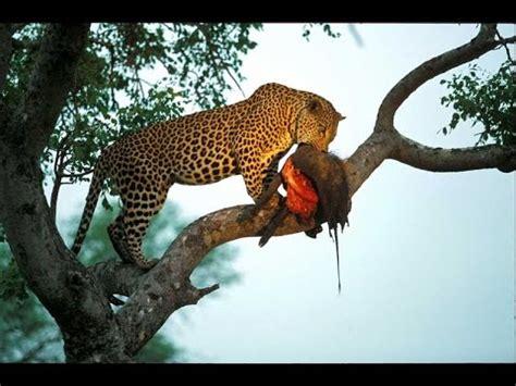 imagenes de leones y aguilas tigre caza a mono youtube