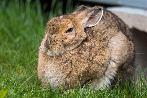 pap test papilloma virus rabbit papillomavirus the best rabbit of 2018