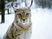 Snow Lynx Cat