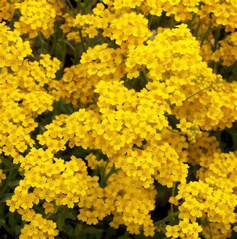 15 Benih Bunga Evening Primrose benih alyssum gold dust 15 biji non retail bibitbunga