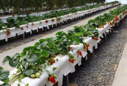 menanam mint hidroponik tanaman hidroponik jenis tanaman dan cara sistem tanam