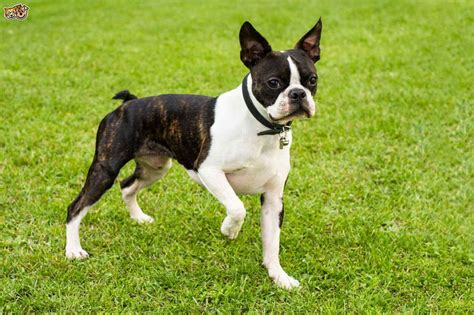 boston colors boston terrier colors brindle white pets and dogs