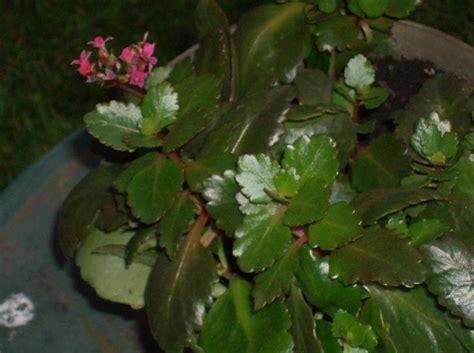 memorial plant is a kalanchoe