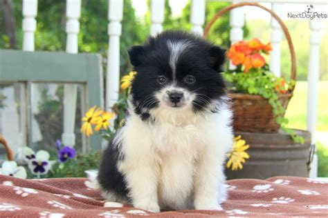 pomeranian near me pomeranian puppy for sale near lancaster pennsylvania a8388c26 cd31
