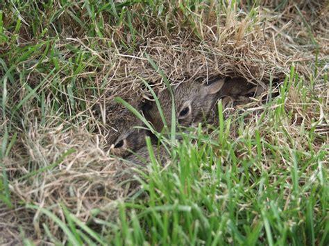 Baby Nest Bunny Blue nest naturally