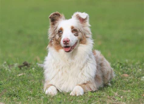 hearing loss in dogs hearing loss hearling loss symptoms in dogs petmd