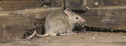 controlo de ratos rentokil portugal