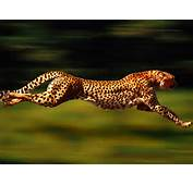 Animal Free Wallpapers Cheetah Running