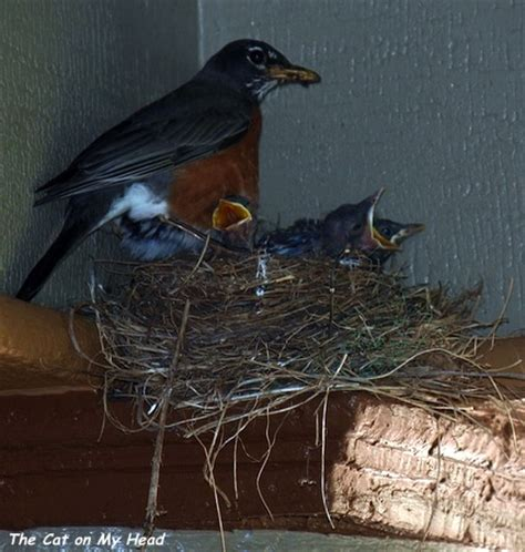 robin feeds both her baby birds as well as those of a