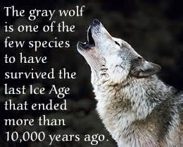 Grey Wolf Facts Interesting Facts » Home Design 2017