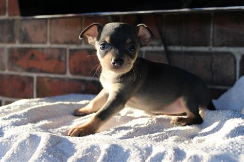 chihuahua min pin puppies chihuahua x miniature pinscher puppies for sale doncaster south pets4homes