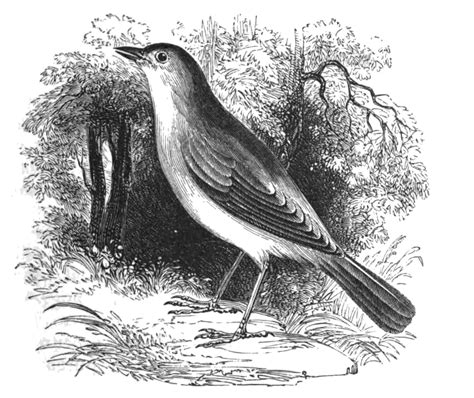 file natural history birds nightingale jpg wikimedia