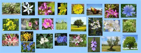 imagenes flores bach terapia natural flores de bach el blog de tit 224 nia