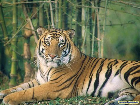 the tiger who would tigers images tiger wallpaper hd wallpaper and background photos 9981602
