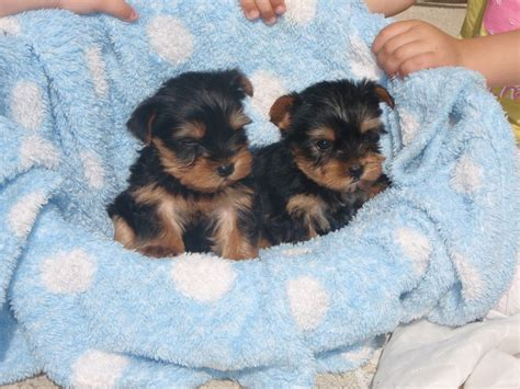 8 week yorkie puppies yorkie puppies is a terrier puppy for