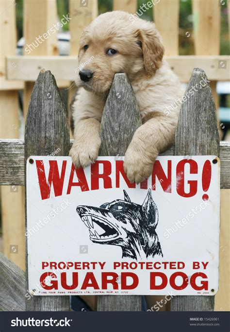 puppy guard fence golden retriever as guard adorable golden retriever puppy on fence with sign