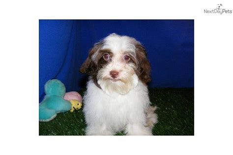 cheap maltipoo puppies for sale maltipoo breeder in illinois breeds picture