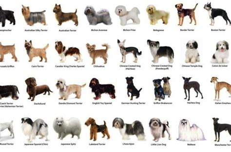 breeds list with pictures tag for small breed dogs list with pictures litle pups