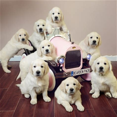 golden retriever puppies southern ca golden retriever breeders southern california the bearden pack