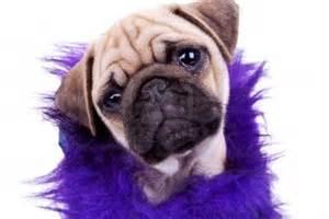 Cute dogs cute pug puppy