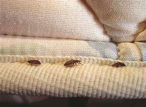 bedbugs in comforters bedding bedbug bedding infestations